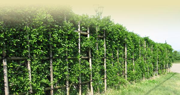 うこぎの垣根 うこぎの垣根 このページの上部へ 上杉伯爵邸 〒992-0052 山形... 上杉